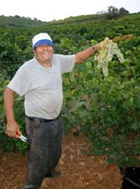 La vendemmia del Cataratto Extra-lucido in Sicilia - Bosco falconeria