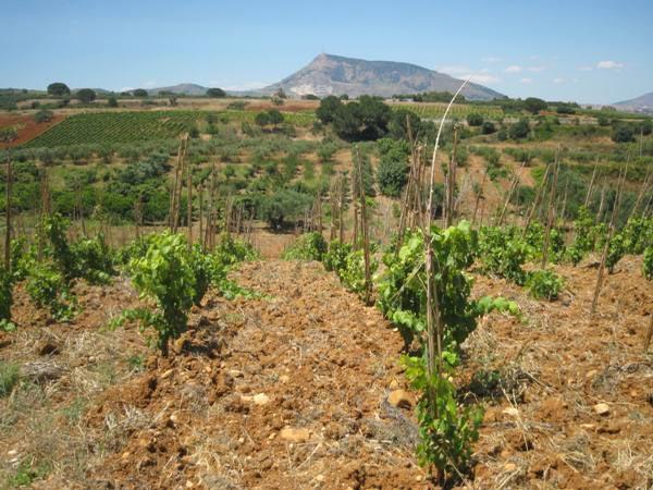 Una vigna ad alberello di Bosco Falconeria - Vino biologico Sicilia