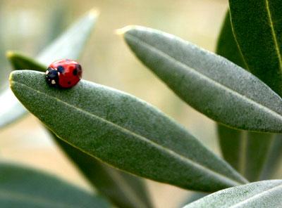 La coccinella sulle foglie degli ulivi