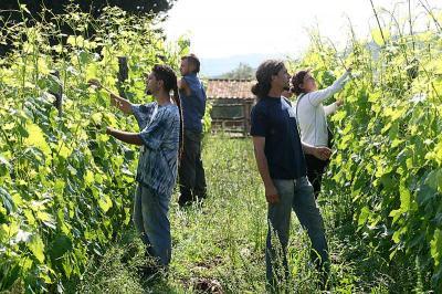 la vendemmia alla cerreta - agricoltura biodinamica in toscana