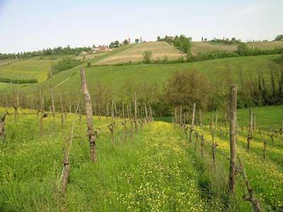 Le vigne di Pignoletto dell'azienda agricola Tedeschi
