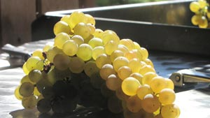 cataratto extralucido coltivato in biodinamica e vinificato da guccione