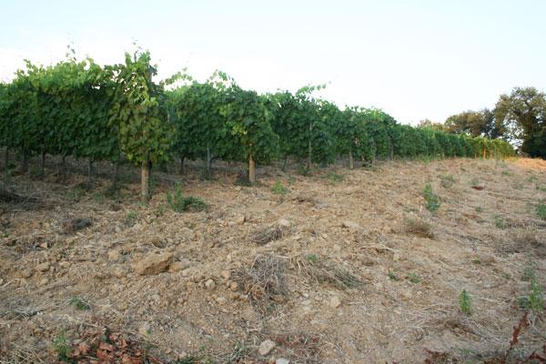 Un vigneto delle Calle - vino biologico della Maremma toscana