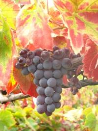 Uva molinara - uva per il vino valpolicella