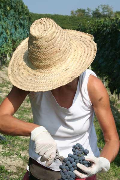 vendemmia a barolo nelle vigne di teresa mascarello