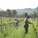 agricola-del-farneto-lavori-in-vigna