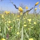 vigna-con-tulipani-gialli