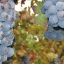 castello-di-agazzano-uva