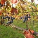 uva-grappolo