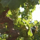emidio-pepe-grappoli
