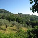 bacchereto-ulivi