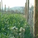 Sovescio nelle vigne di Fontorfio