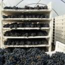 la-piana-capraia-appassimento-uva
