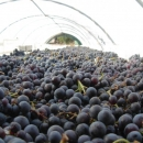 la-piana-capraia-appassimento-uva2