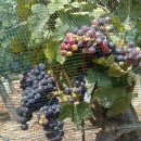 la-piana-capraia-appassimento-uva3