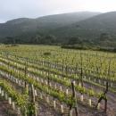 la-piana-capraia-vigne2