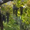uva-tintore-montedigrazia
