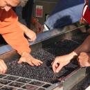 piandellorino-cernita-uva