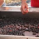 piandellorino-cernita-uva2