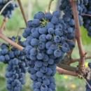 santemarie-grappolo-sangiovese