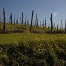 valliunite-vigna-potata