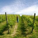 vigne-vendemmia3