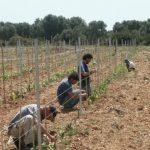 Urupia, i vini del Salento nascono da un progetto comune