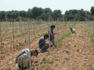 Urupia - Puglia: nuovo vigneto