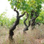 I vini di Morella e gli antichi vigneti ad alberello in Puglia
