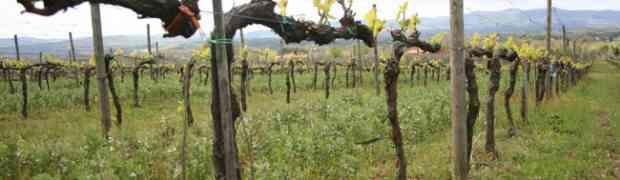 Paterna, il vino biologico dalle colline di Arezzo
