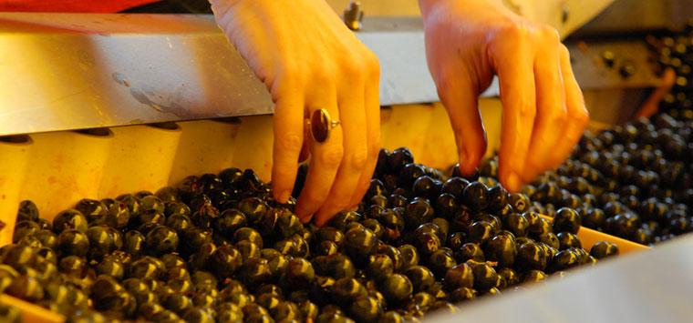 La cernita dell'uva a Tenuta di Valgiano