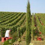 La vendemmia da Stefano Amerighi - Cortona - Toscana