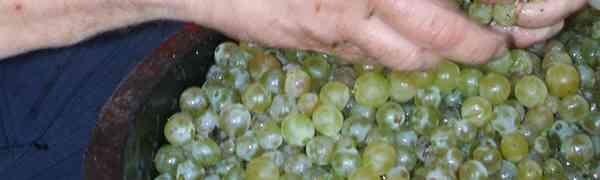 Vinificazione casalinga del vino naturale (prima parte)