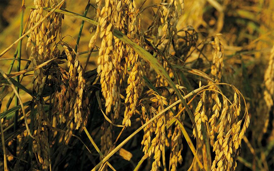riso della baraggia