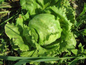 insalata dell'orto