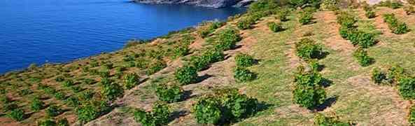 Unesco: la pratica agricola della vite ad alberello di Pantelleria è Patrimonio dell'Umanità