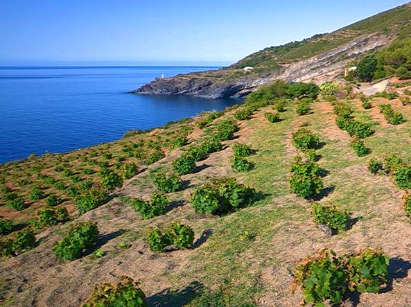 alberello a pantelleria