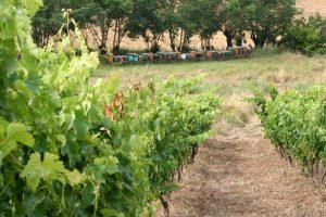 Vigna e alveari alla Maliosa in Toscana